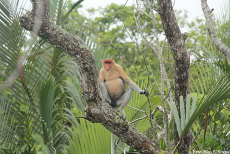 Bekantan, Strategi Konservasinya di Dalam dan di Luar Kawasan Hutan