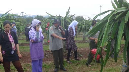 Kebun produksi buah naga