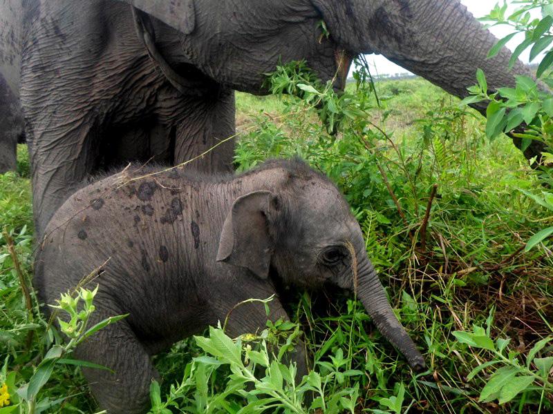 Nanik, Gajah Sumatera di SM Padang Sugihan Sebokor, Melahirkan Anak Pertamanya